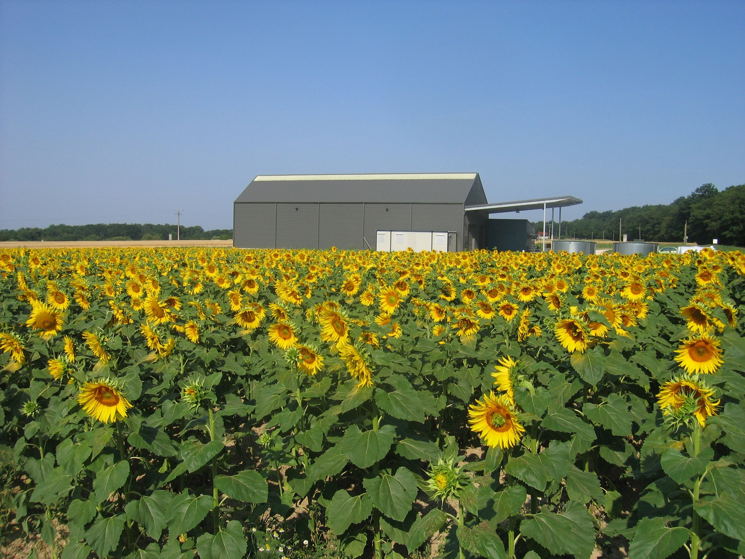 Winery with sunflowers.JPG
