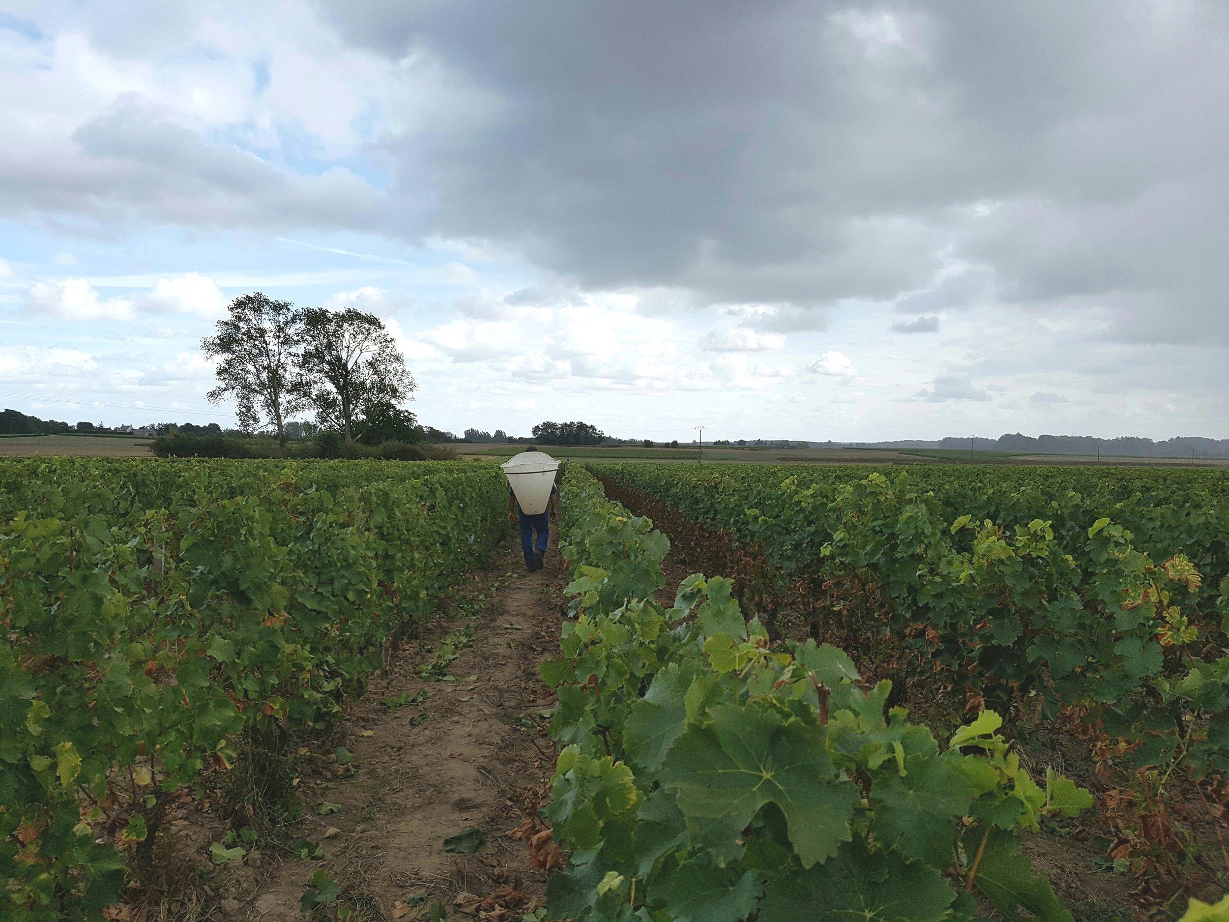 Oisly Vineyard start of picking.jpg