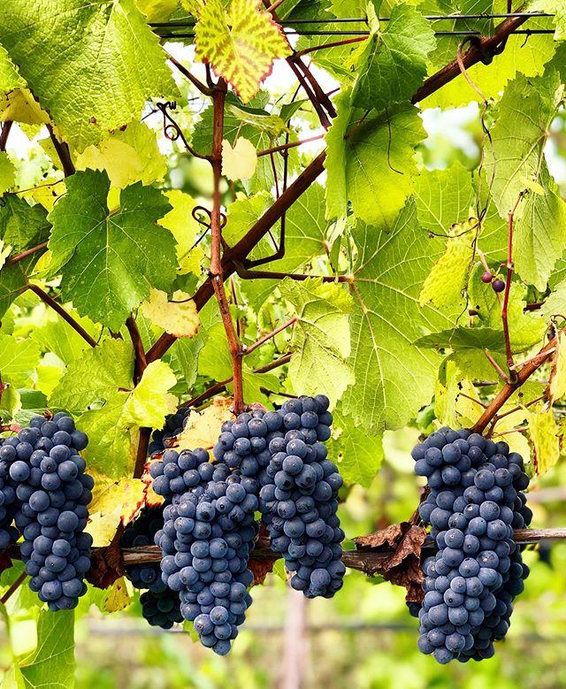 Ready to harvest! Pinot Noir 115 soaking up its last few days on the vine. 🍇 #harvest #oregonwine #oregonpinot #pinotnoir #vintage2019 #vineyardviews