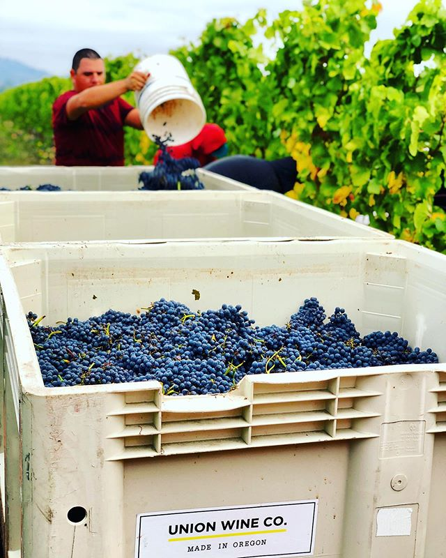We normally machine harvest all of our vineyard, but today we had the opportunity to do a hand pick for @unionwinecompany for a special project coming November! 🍇🤫🍷 #pinkiesdown #oregonwine #pinotnoir #farmlife #vineyardlife #vintage2019 #handpicked #oregonwine