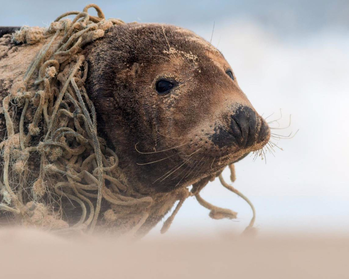 Plastic threatens wildlife - Entanglement, ingestion, and habitat disruption all result from marine plastic litter and plastic pollution. In our oceans alone, plastic debris outweighs zooplankton by a ratio of 36 to 1.