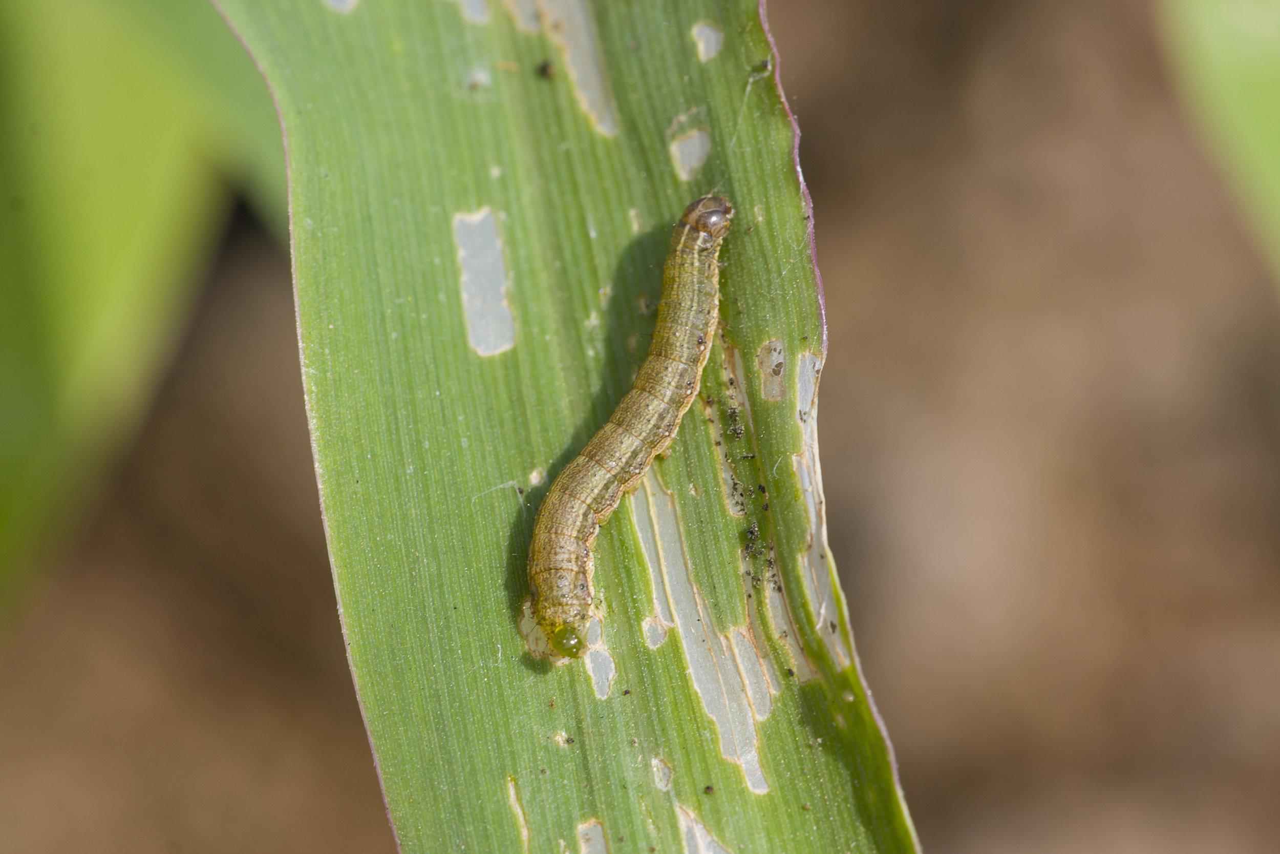 armyworms.jpg