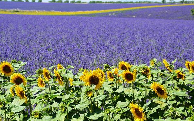 lavender-field-1899575_640.jpg