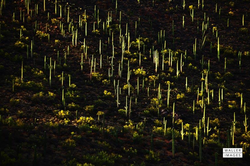 Saguaro forest.