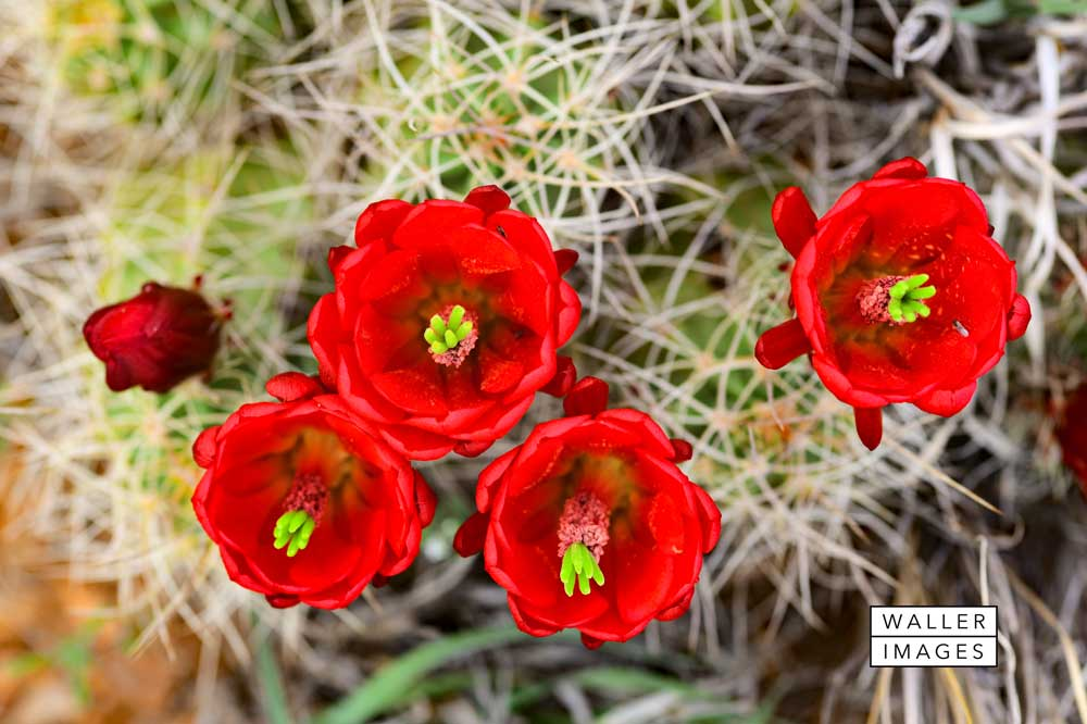 Cacti-Red-Flowers-web.jpg