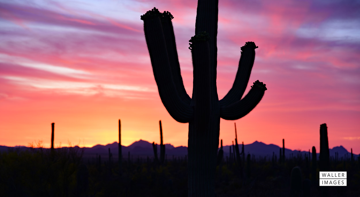 Saguaro Sunset web.jpg