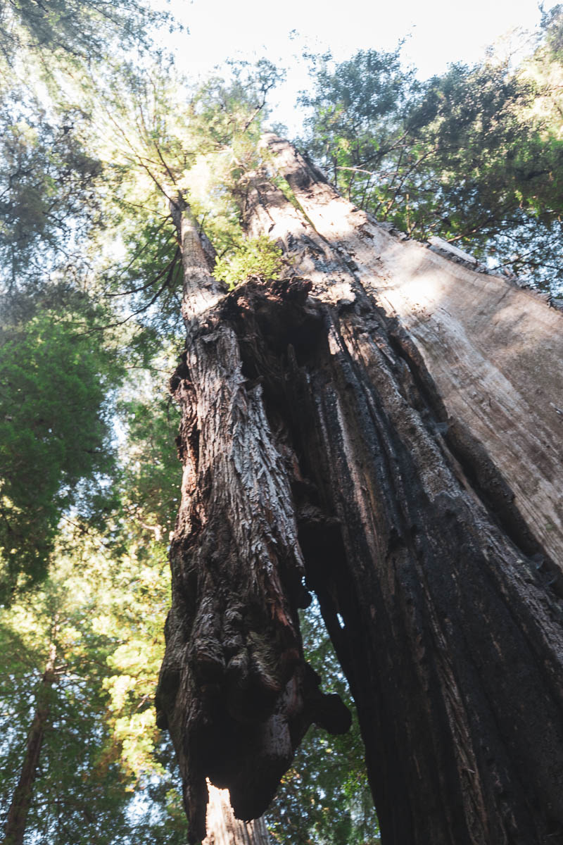 Giant tree growing on enormous tree…