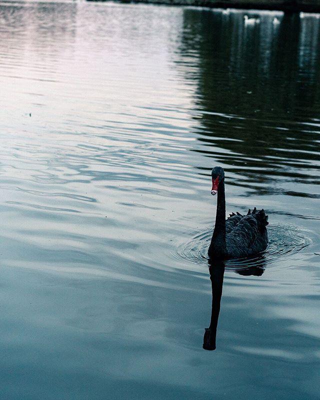 Swanning around on a Sunday like 🦆 • • • • • #swan #swanlake #blackswan #natalieportman #westernsprings #weroamnewzealand #birdsofinstagram #reflectionperfection #birdshots  #justgoshoot #trappingtones #creativeoptic #nzmade  #auckland #nz @unumdesign #unumfam #capturenz #purenewzealand #splendid_earth