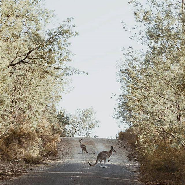Kangaroo roadblock...