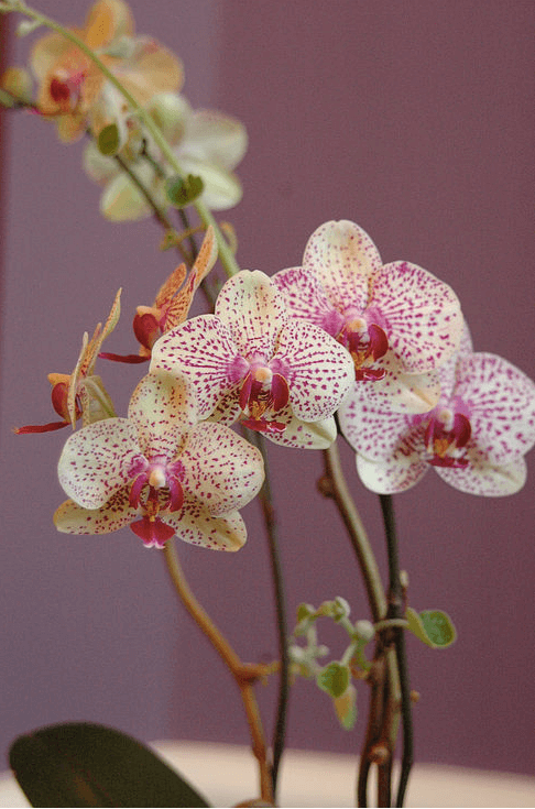 orchid-delivery-atlanta-2.png