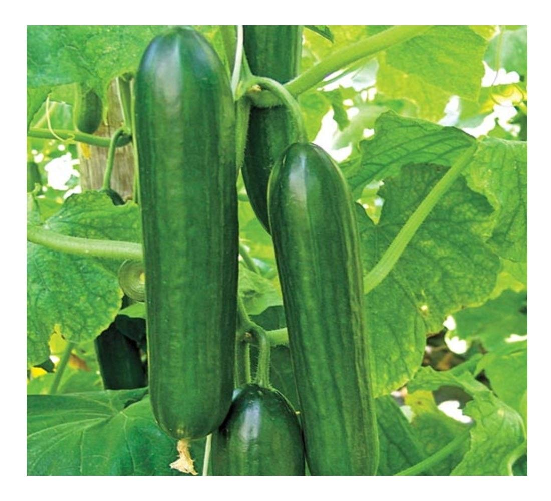 Certified Bio-Dynamic Lebanese Cucumbers from Vortex Veggies in Inverleigh, Vic (Local Region)