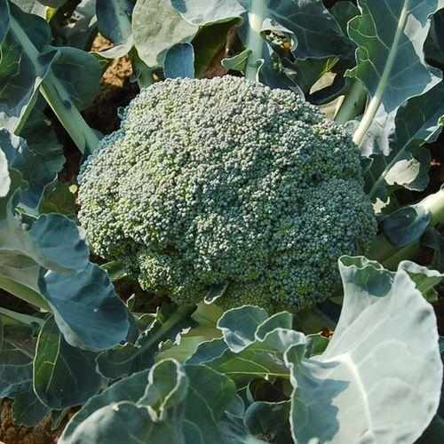 Certified Organic Broccoli from Busch Organics in Hillside, Vic (Gippsland)
