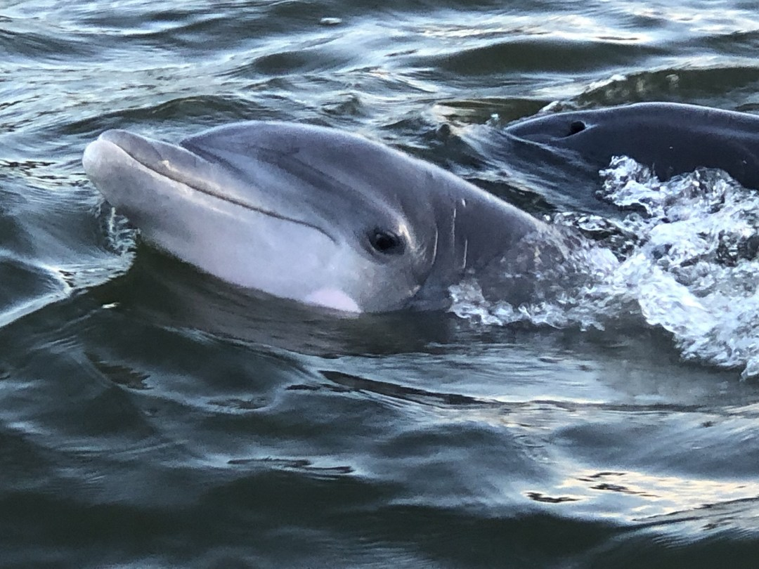 Dolphins-seen-during-sunset-cruise-1.jpg