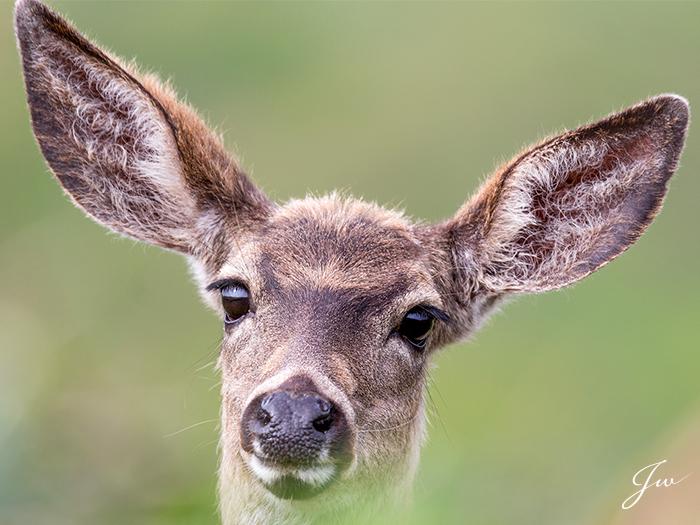 Deer_large.jpg