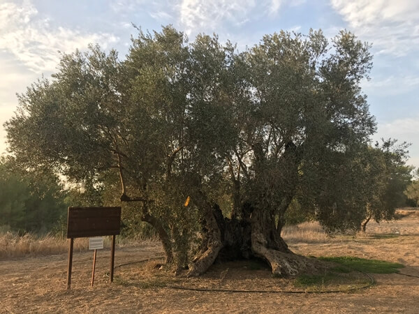"""A Tree's Life:""""I live in Kalkanlı/Καπούτι/Kapouti, Cyprus.  I am 900 years old, planted in the 1100s in Cyprus.Through the centuries, I have nourished Genoese, Venetians, Ottomans, and British on this island.Now, I am nurturing peace in modern Cyprus."""