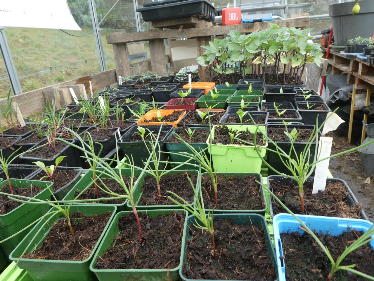 I then potted them on in very early March. Here they are in the foreground.