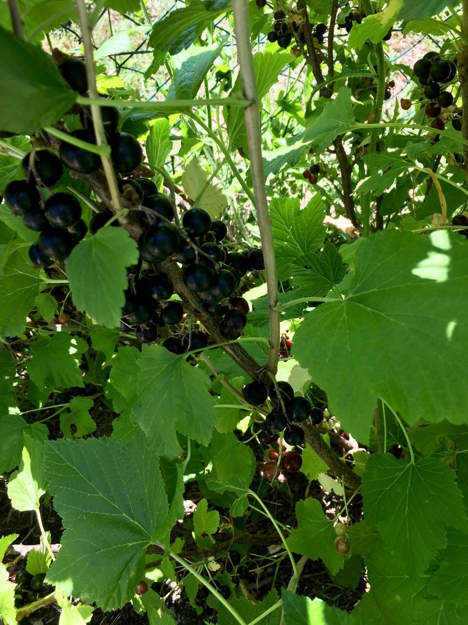 Blackcurrants heavy on the sole bush
