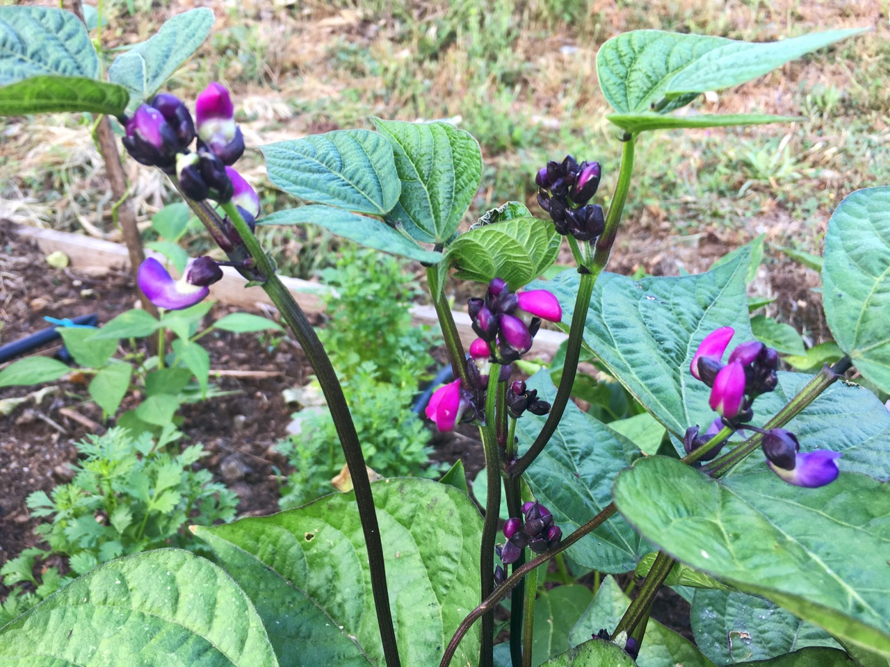 However my heart has been stolen by the flowers of these dwarf purple beans. When they develop the pods will be dark purple. I can't wait.
