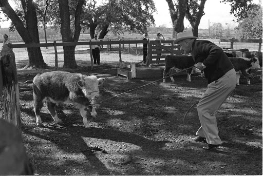 President Johnson roping a calf on the ranch. LBJ Library photo by Yoichi Okamoto, Nov. 20, 1965
