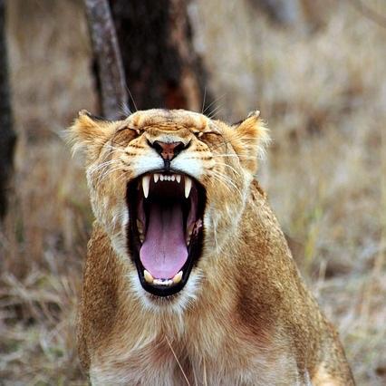 lion-350690_640.jpg