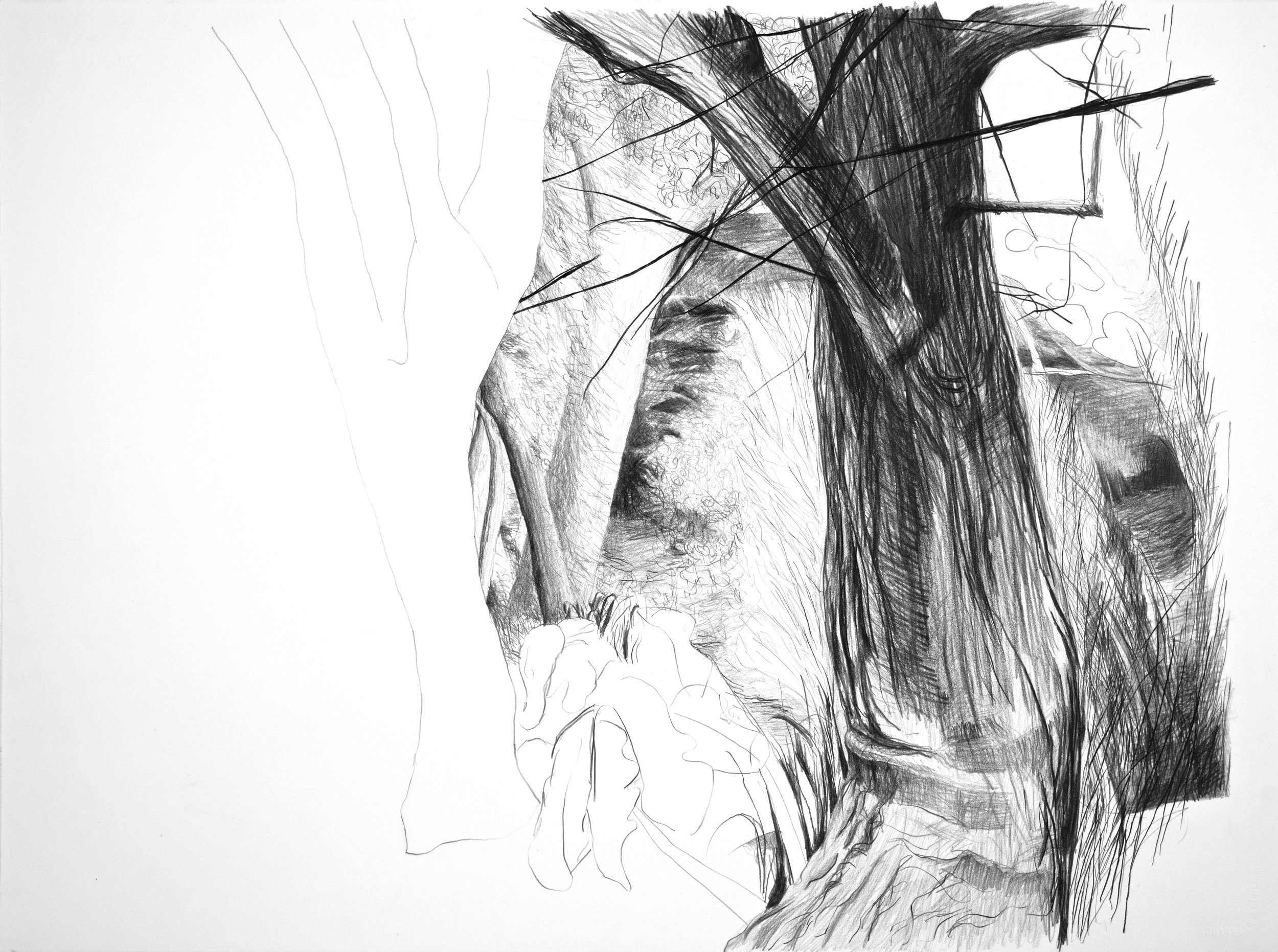 """Trunk and Branches,  2013, Graphite/Paper, 22"""" x 30"""""""