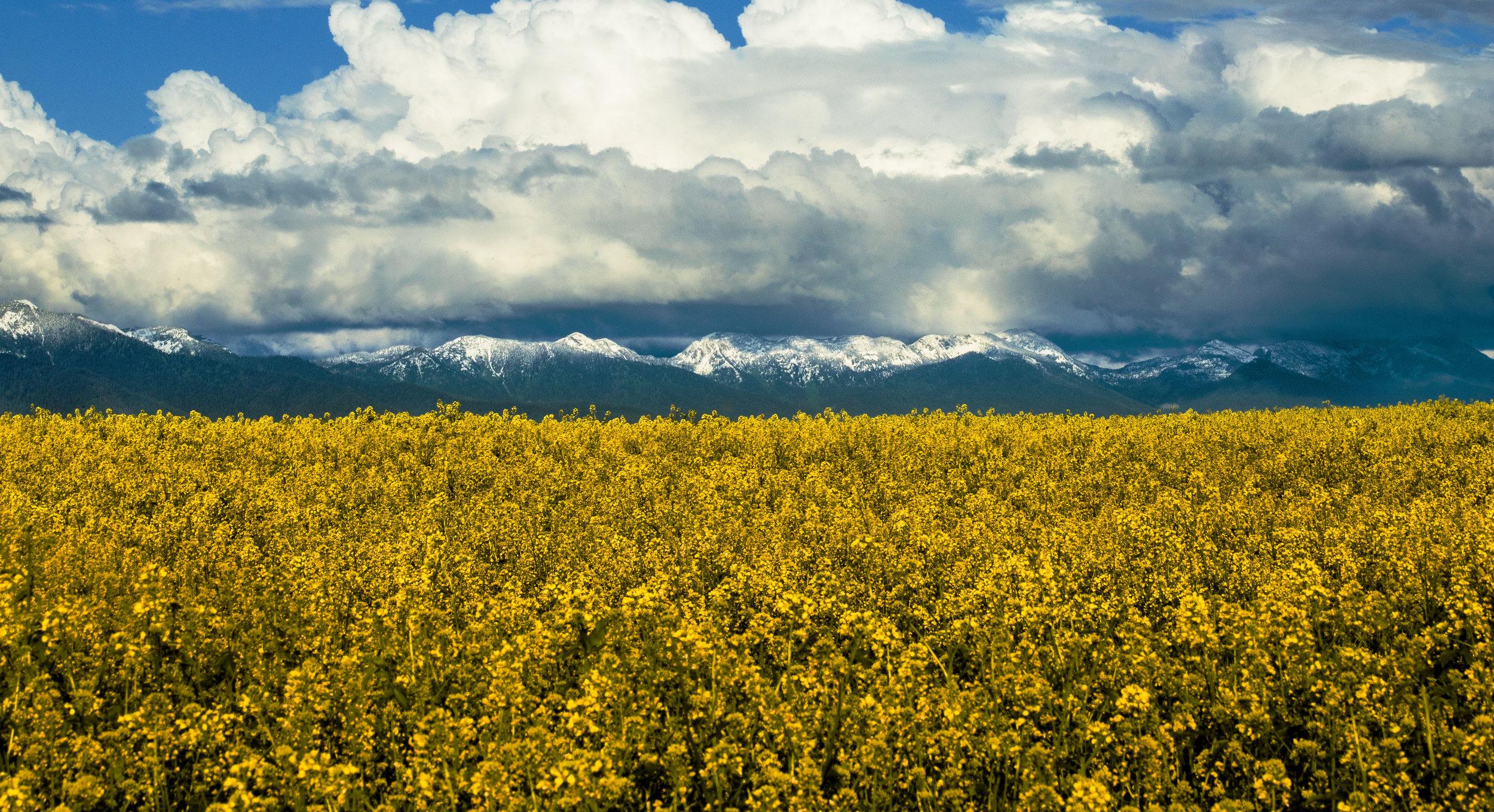 MTflowers (1 of 1) copy.jpg