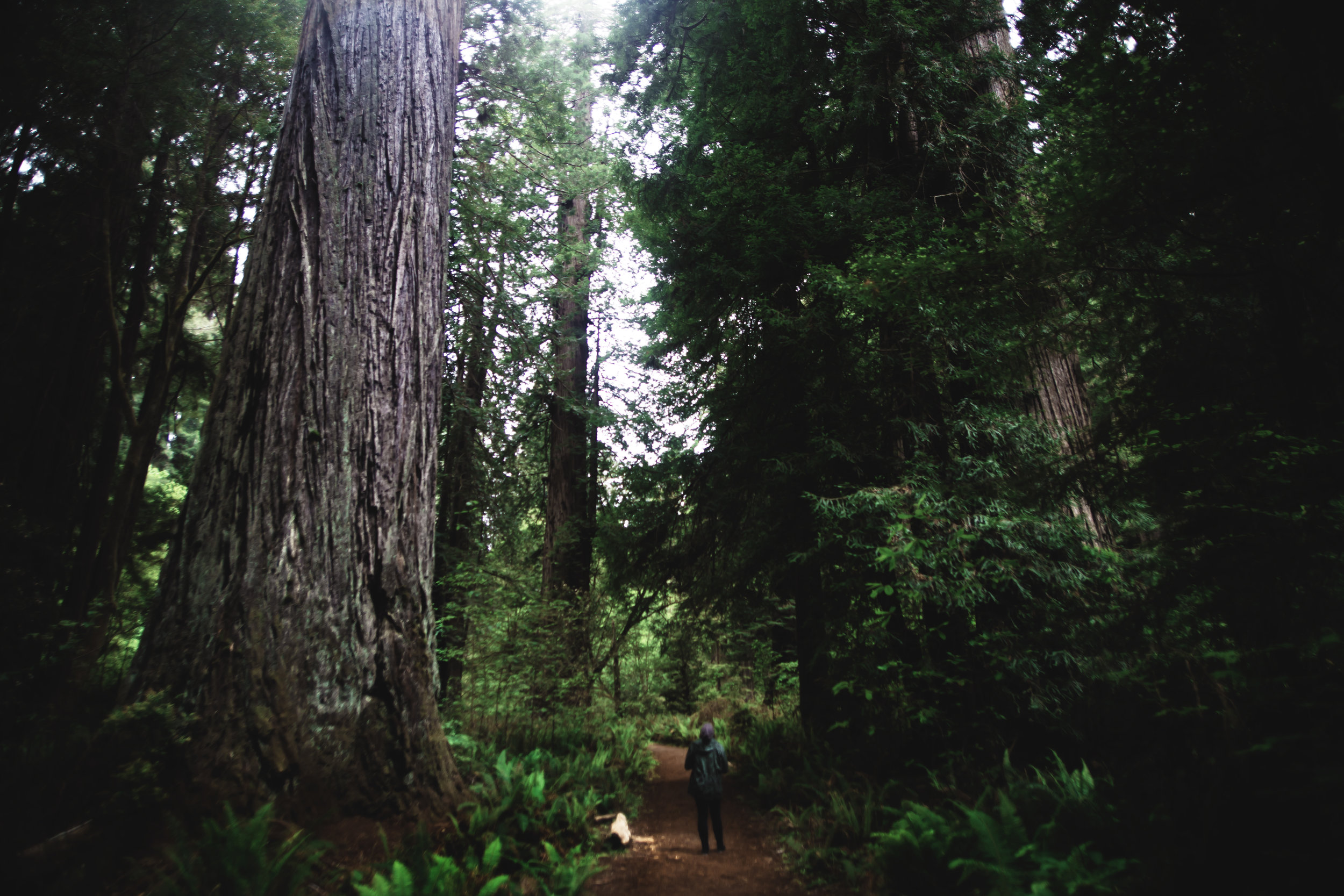redwoods (1 of 1).jpg