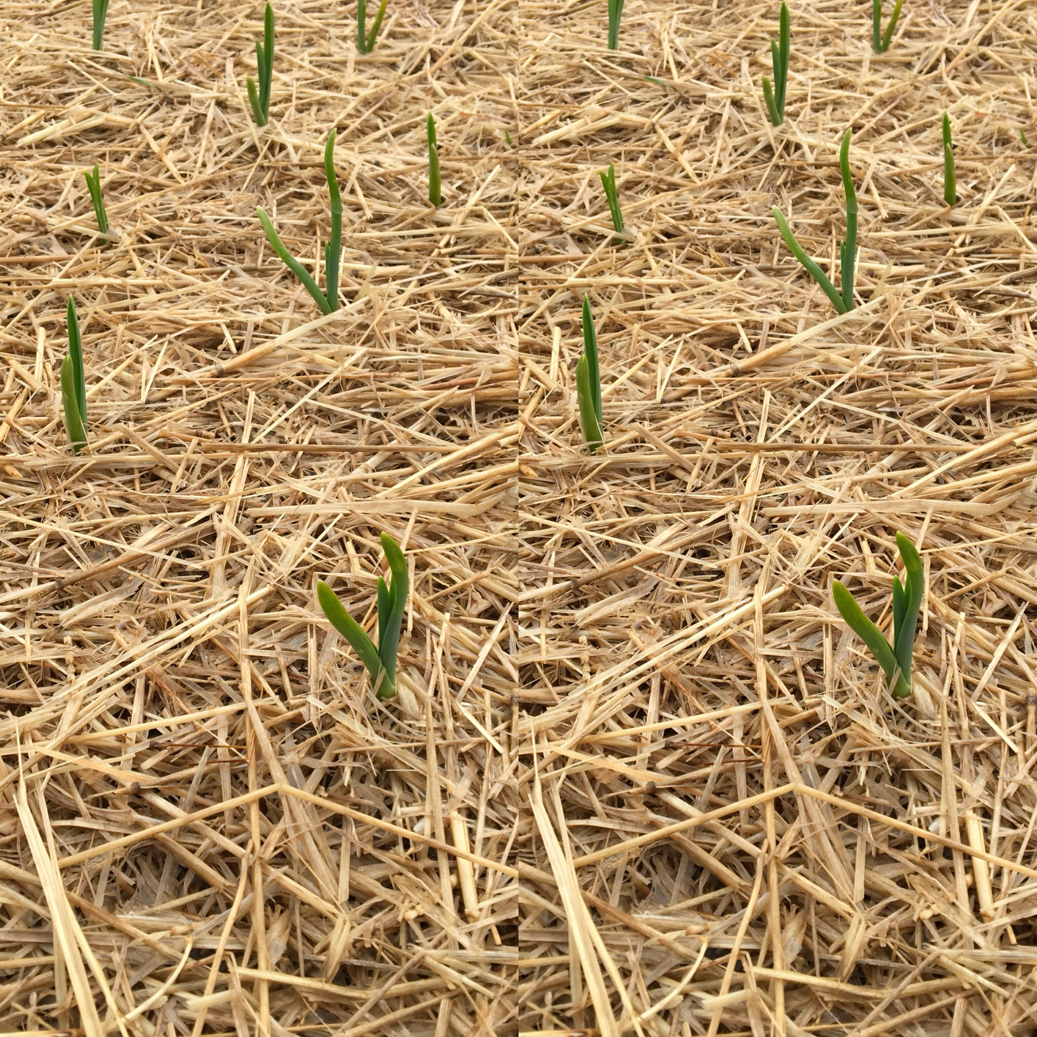 Dax Funderburk - late winter emergence .JPG