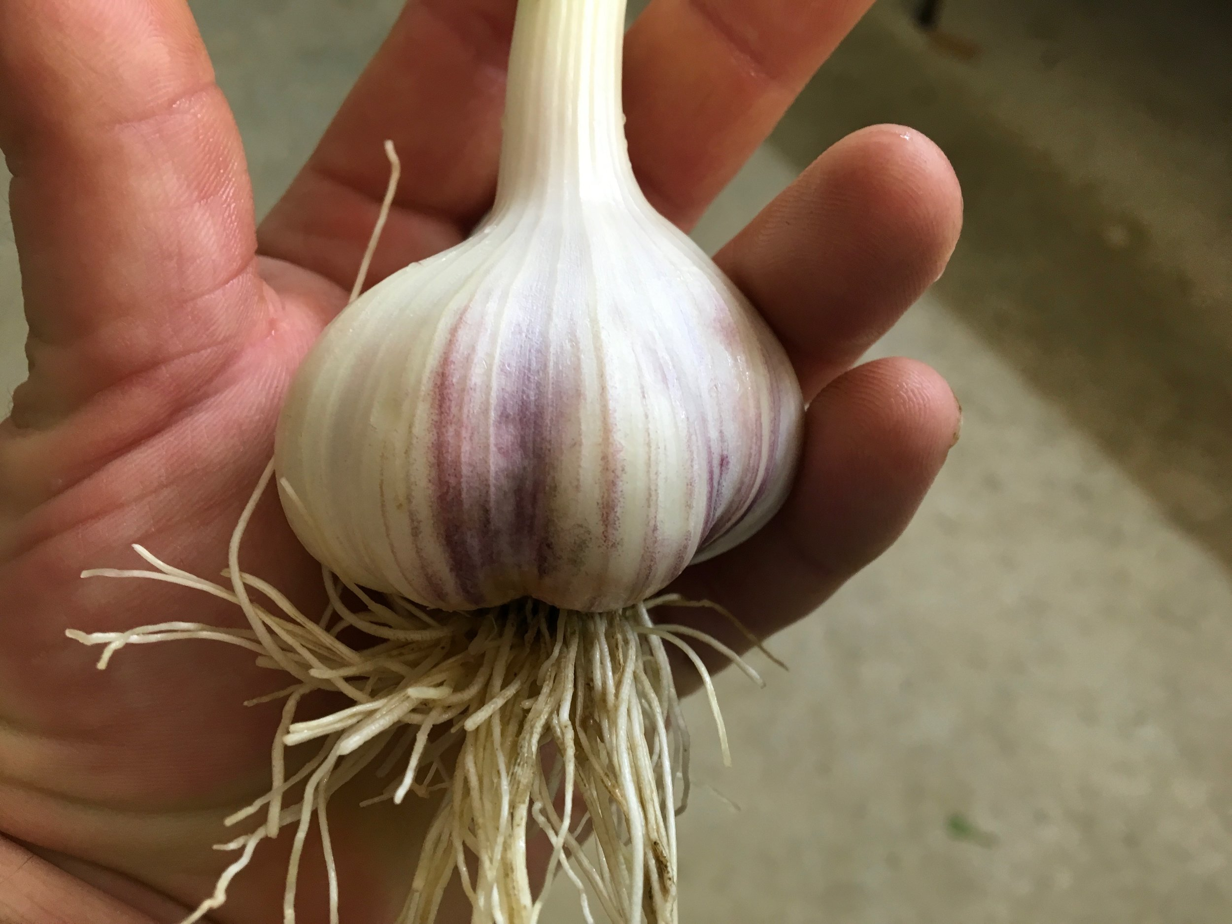 Dax Funderburk - Fresh Garlic Hand .JPG