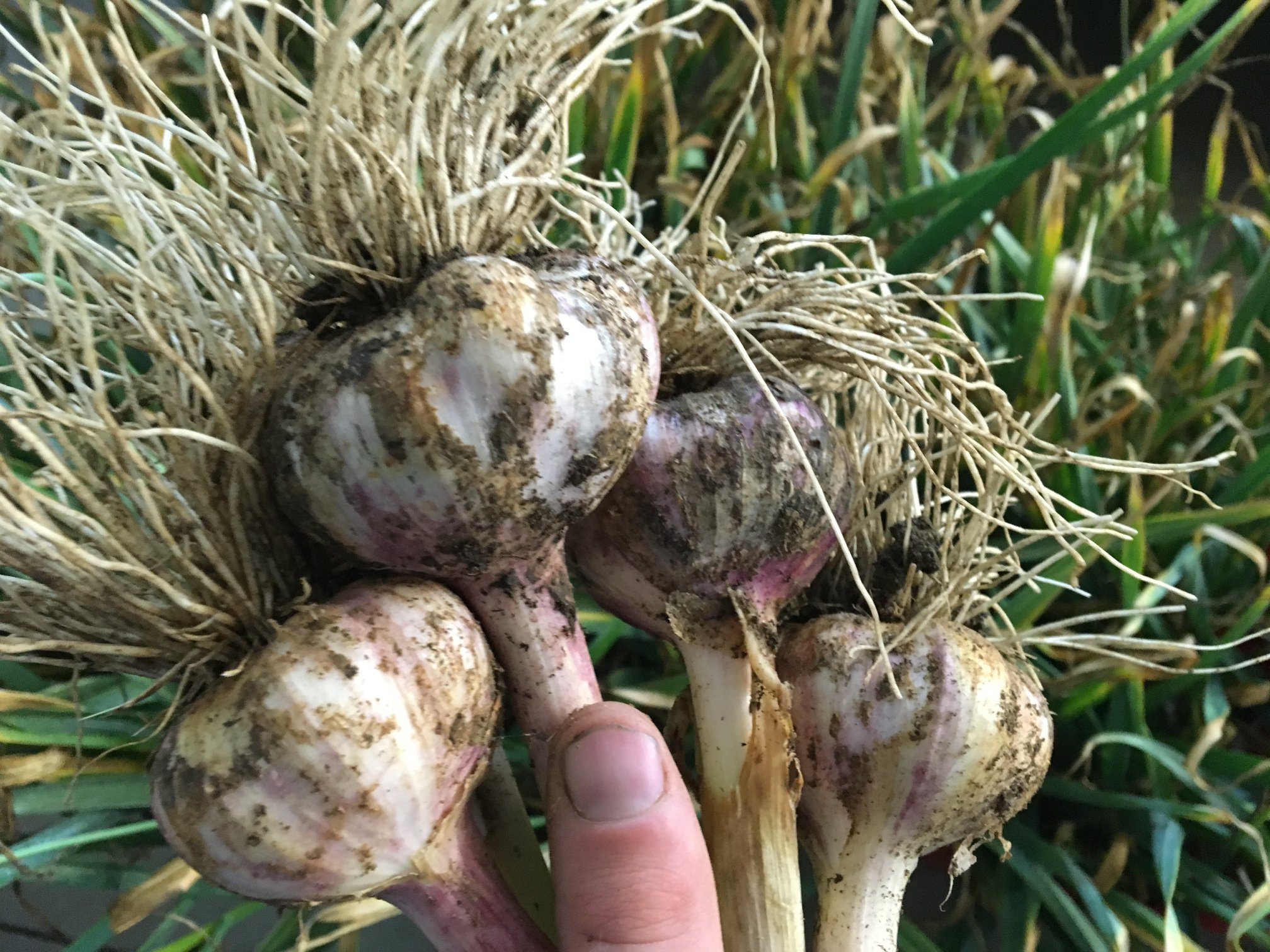 Dax Funderburk - Harvest Bulbs .jpg