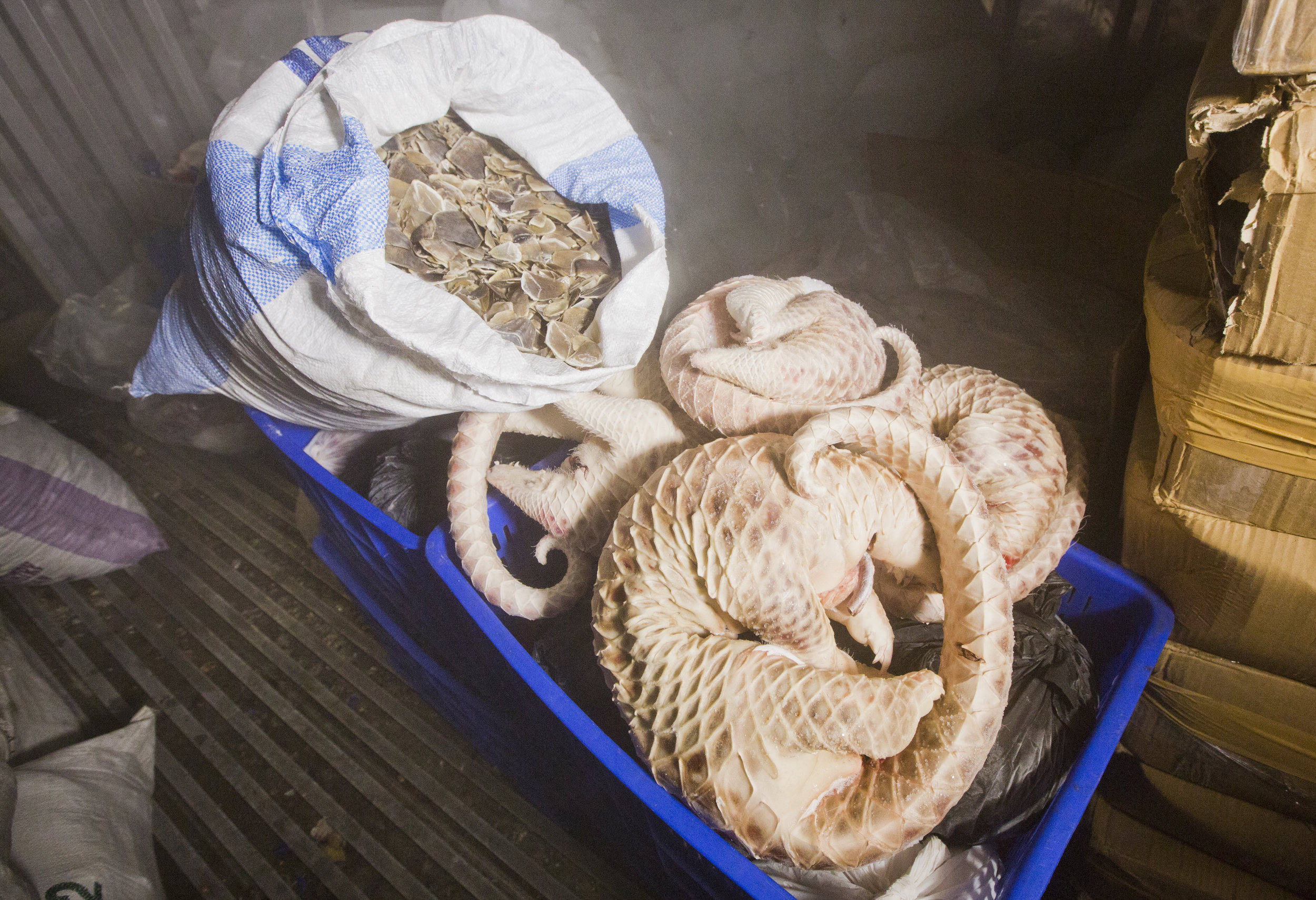 conservation - All eight species of pangolins are threatened with extinction. More than 1 million pangolins have been trafficked in the last decade. Their scales are used in traditional Asian medicines and their meat is considered a luxury food throughout Asia. Learn about our work to save them.