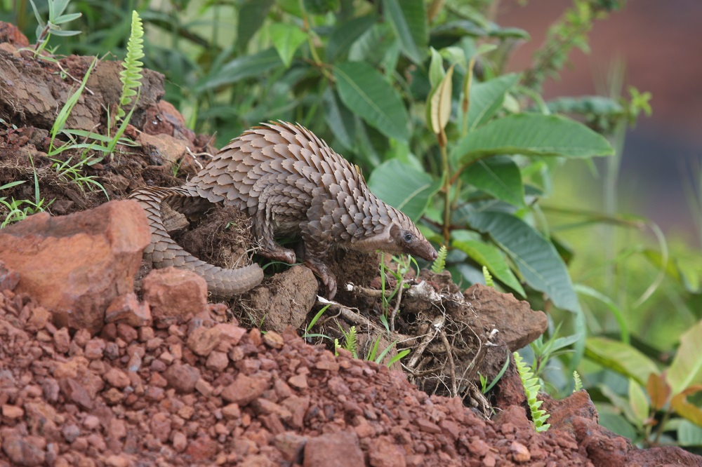 White-bellied pangolin