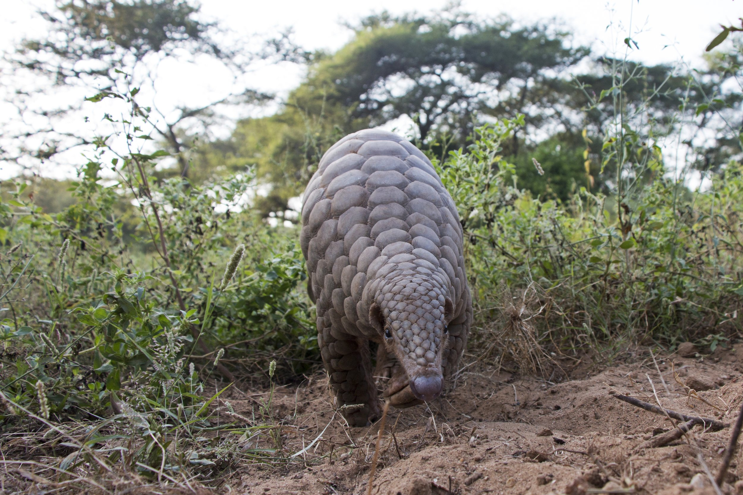 Pangolins are the most trafficked wild mammals in the world. But it is not too late to save them from extinction. -