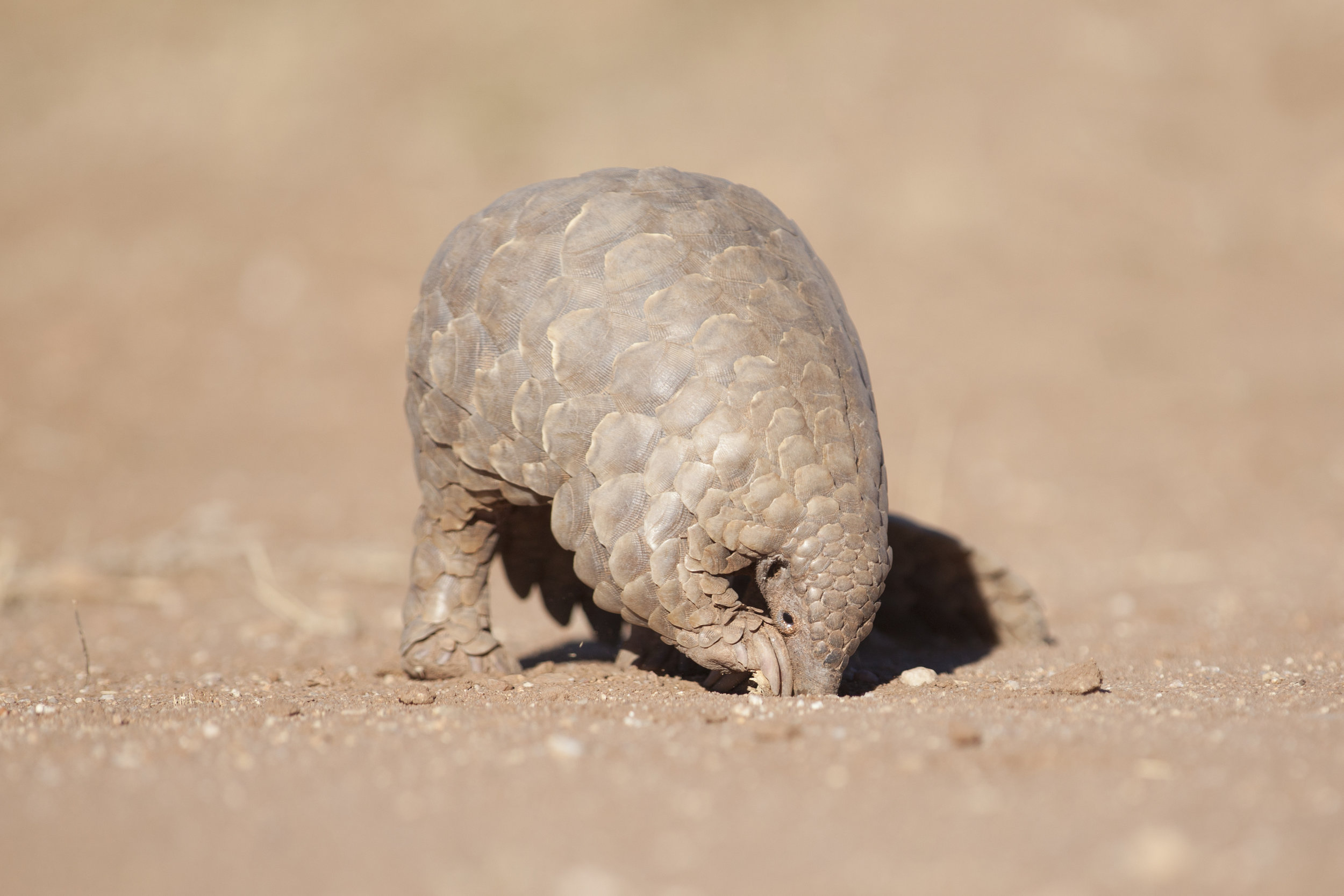 One adult pangolin can eat 70 million insects each year. -