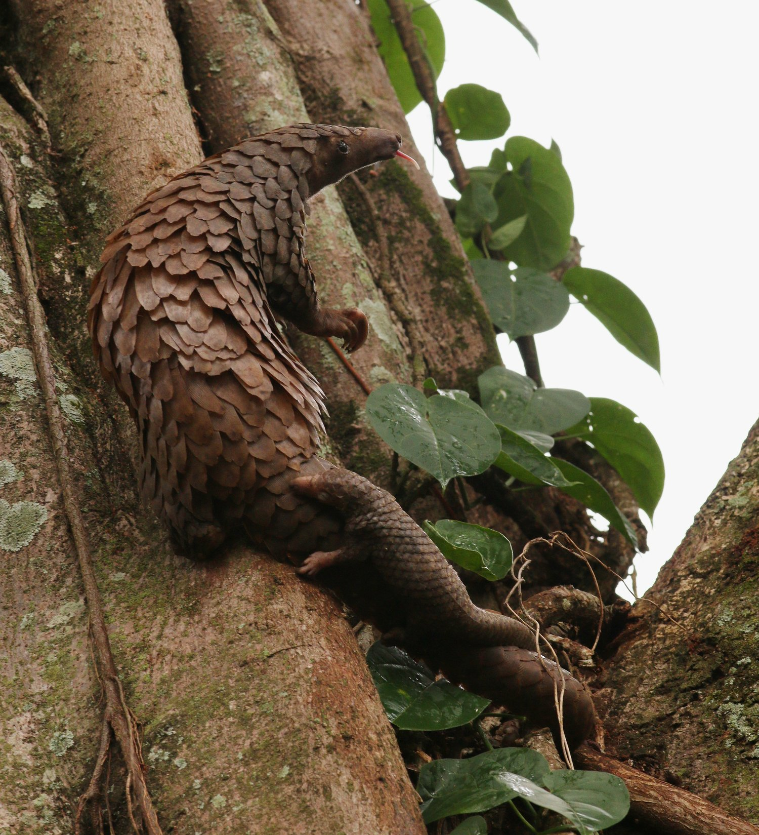 climbing pangolin patch