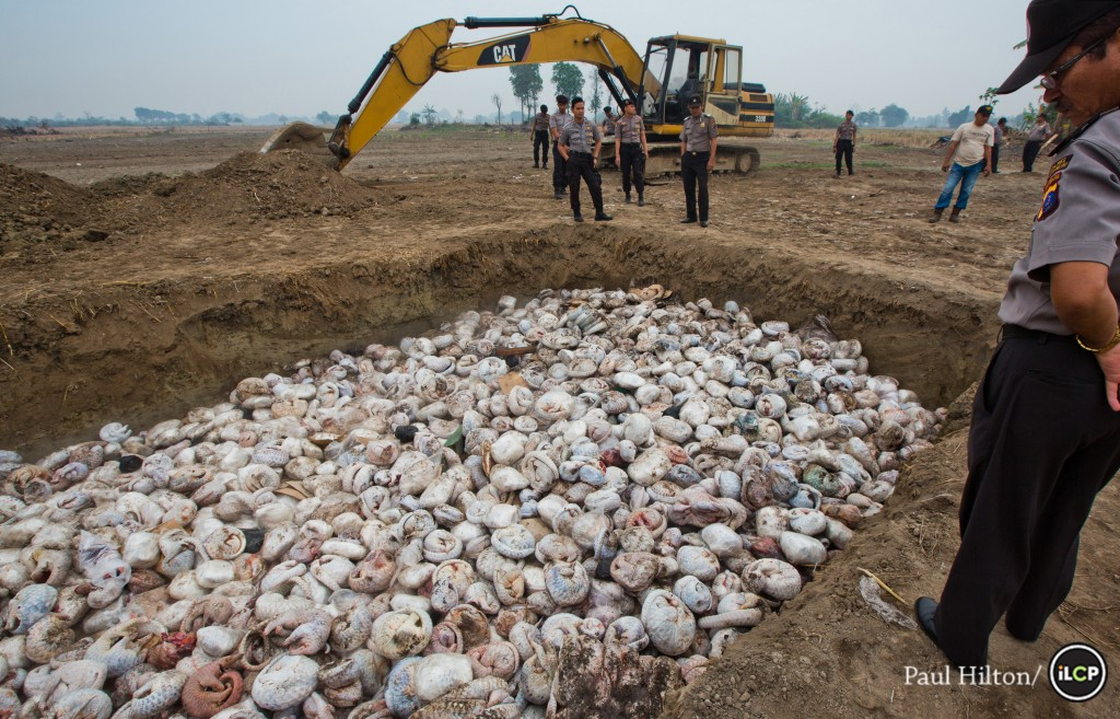 Photo by Paul Hilton/ILCP. Thousands of slaughtered pangolins lie in a pit before being burnt, on 29th April 2015 in Medan, Indonesia. After a pangolin bust conducted by the Indonesian National Police along side WCS's Wildlife Crimes Unit.