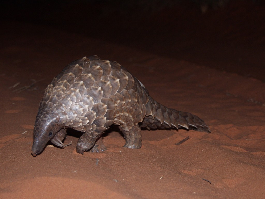 A Ground pangolin — one of the eight species declared threatened with extinction.