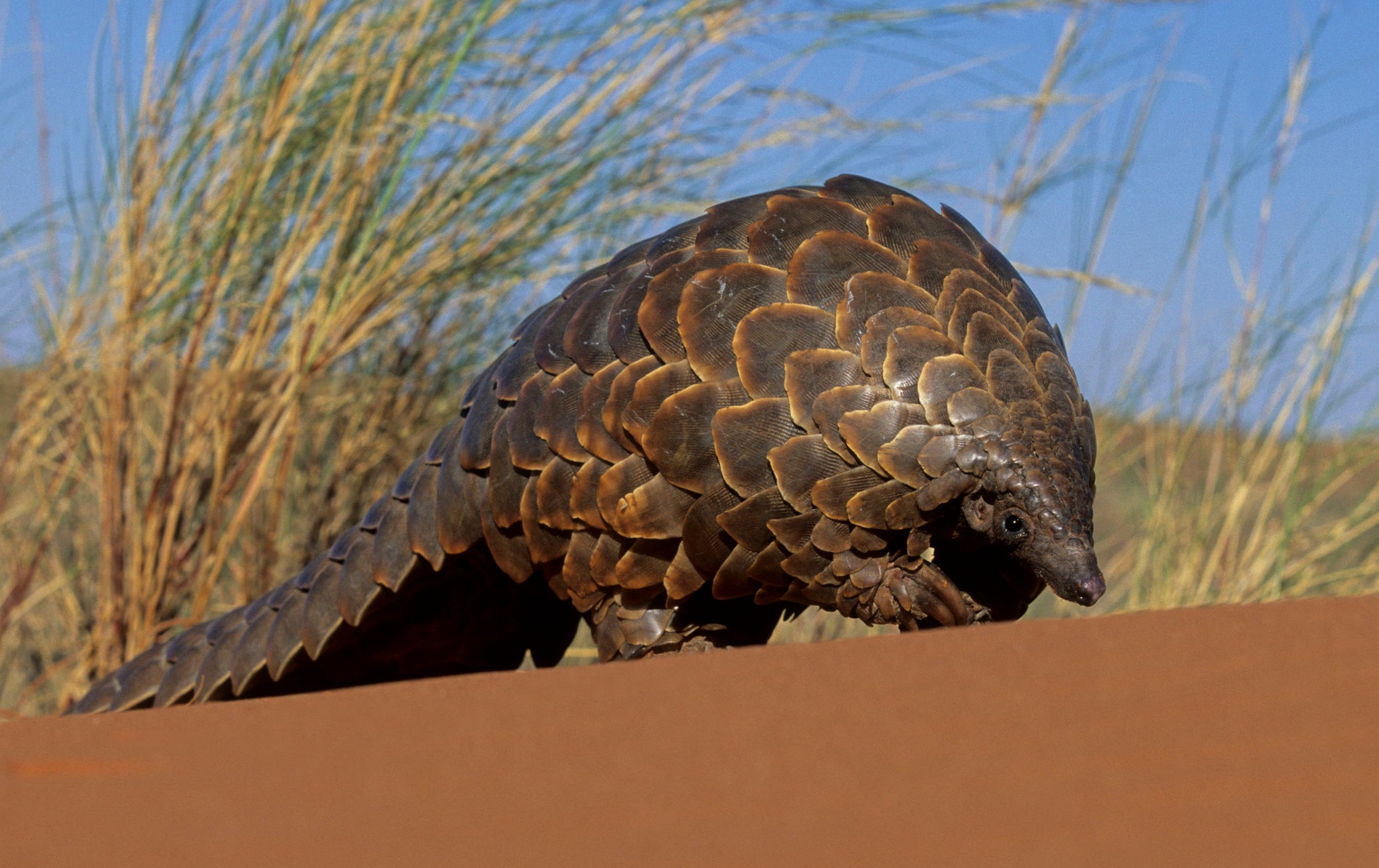 What is a pangolin? - Pangolins are insect-eating mammals that are covered in tough, overlapping scales. There are eight pangolin species living across Asia and Africa.