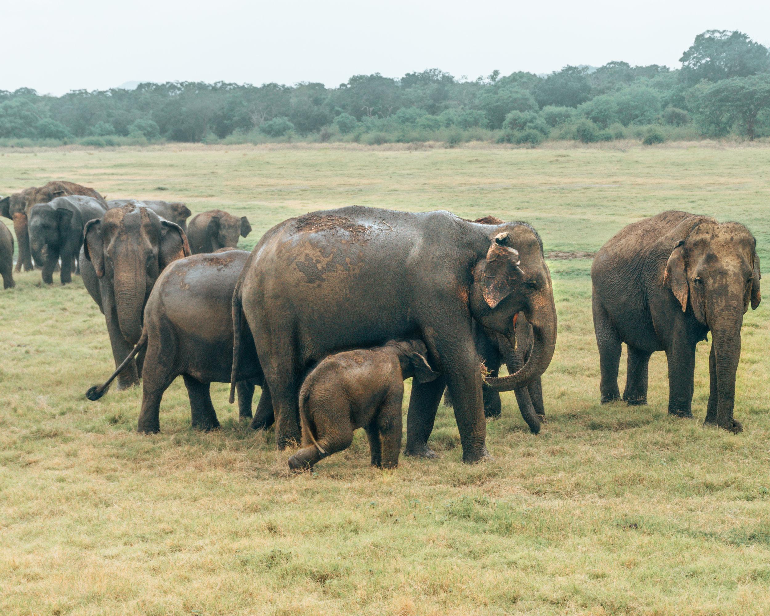 Elephants Safari Travel Sri Lanka