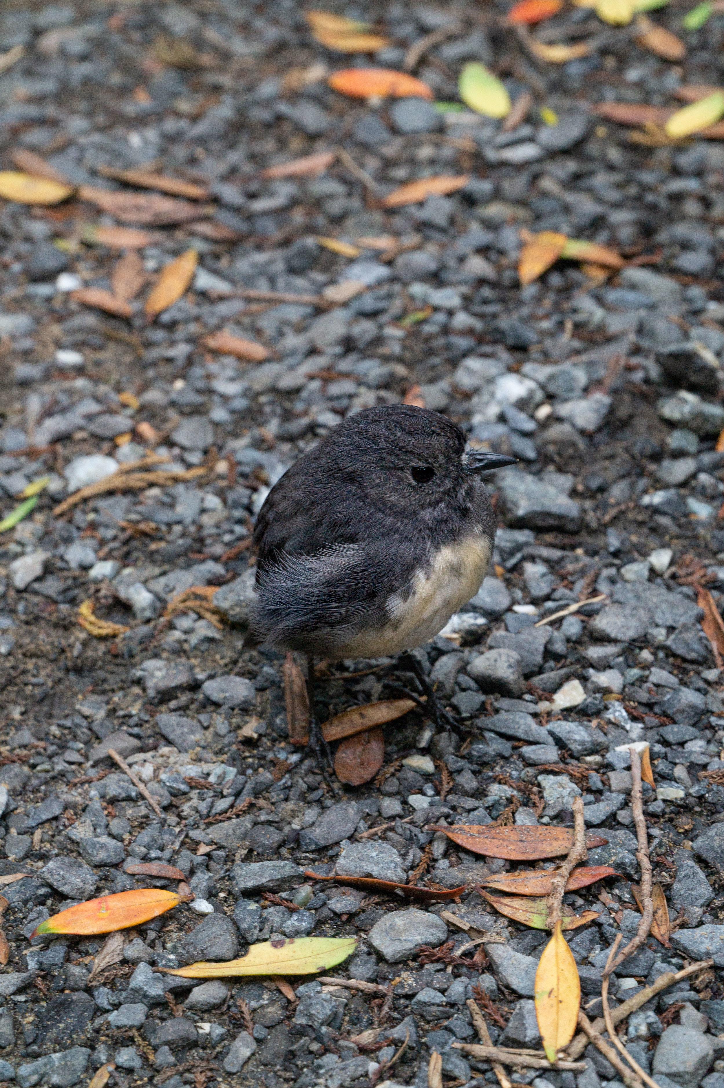 Kiwi spotting on Ulva Island Robin on path