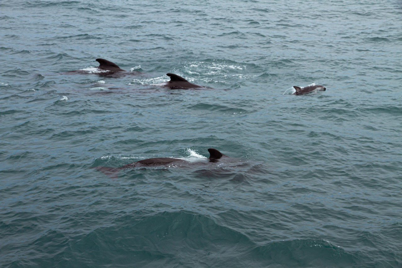 Dolphins Kaikoura Best Places to see wildlife New Zealand
