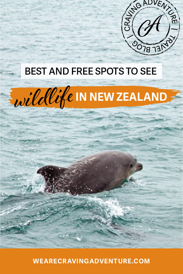 Dolphin Best Places to see wildlife New Zealand