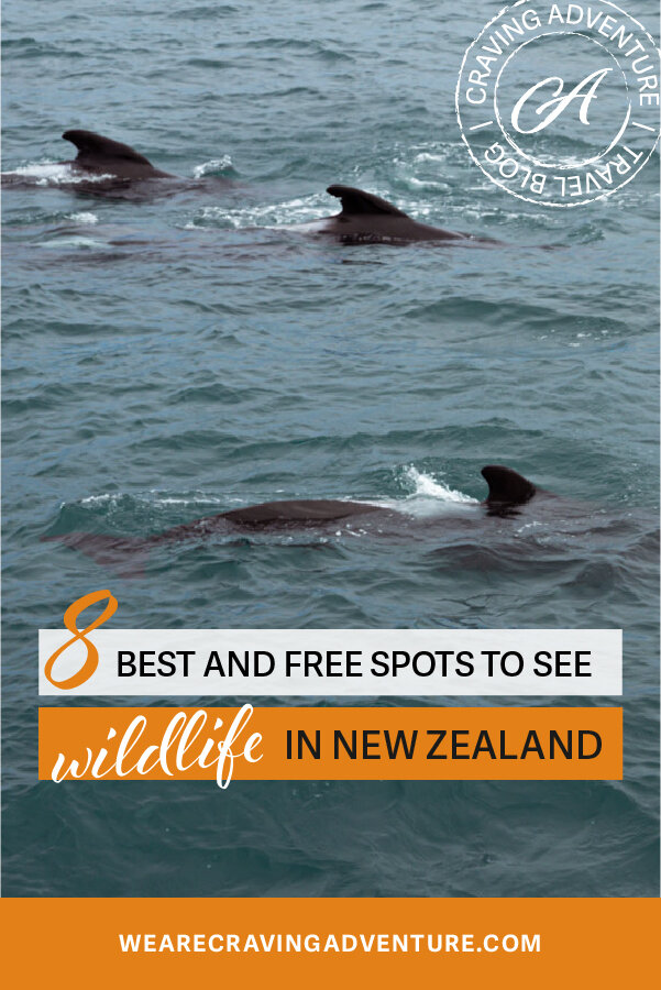 Dolphins Best Places to see wildlife New Zealand