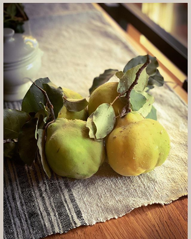 A freshly picked quince still life.