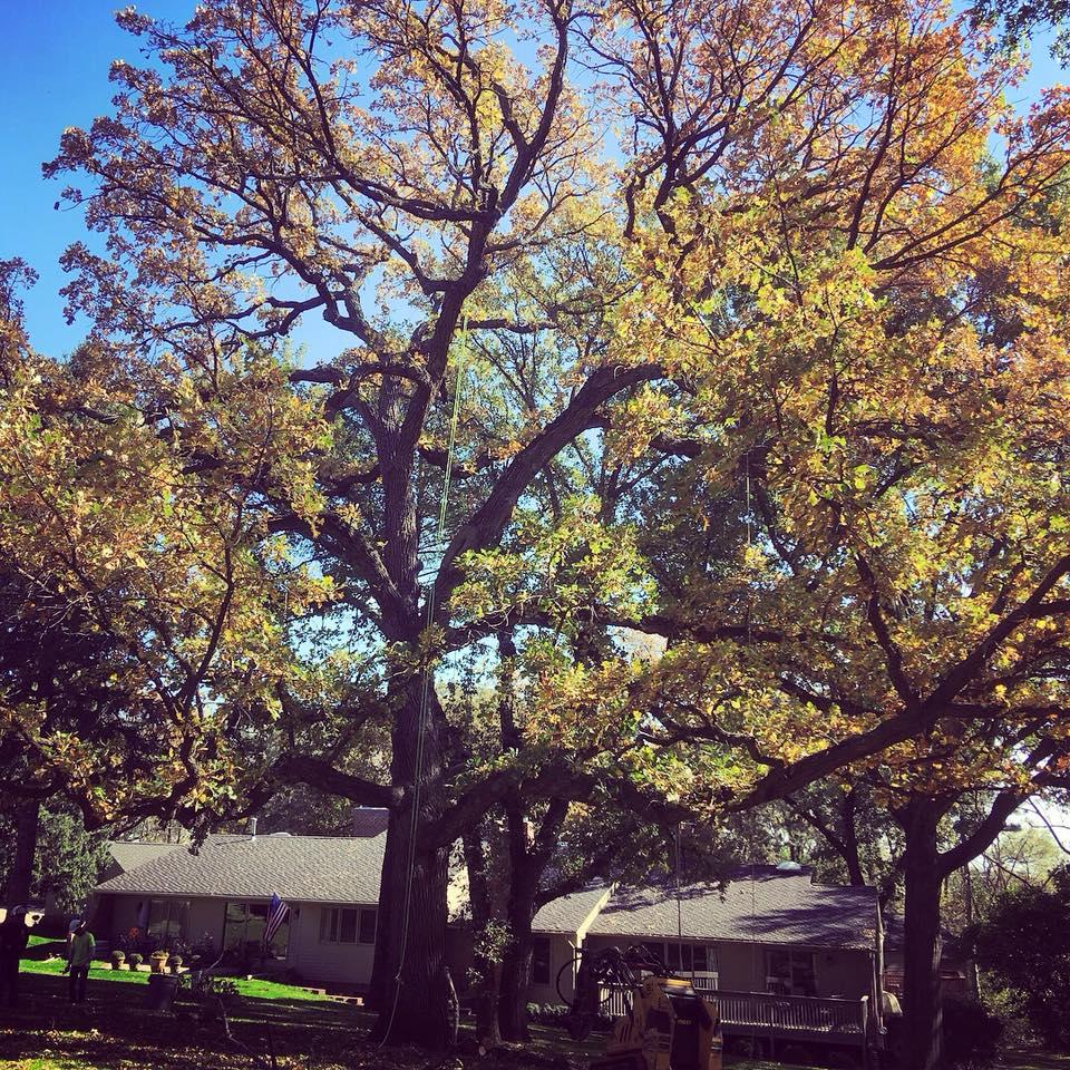 bur-oak-trim-american-arborist.jpg