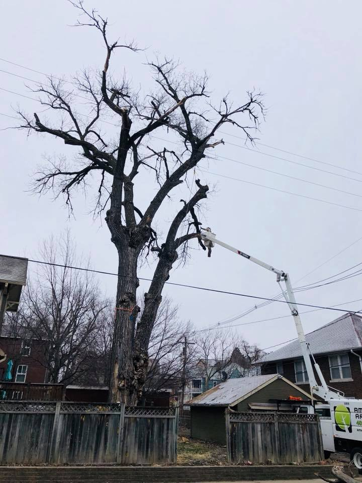 dundee-dying-cottonwood-removal-american-arborist.jpg