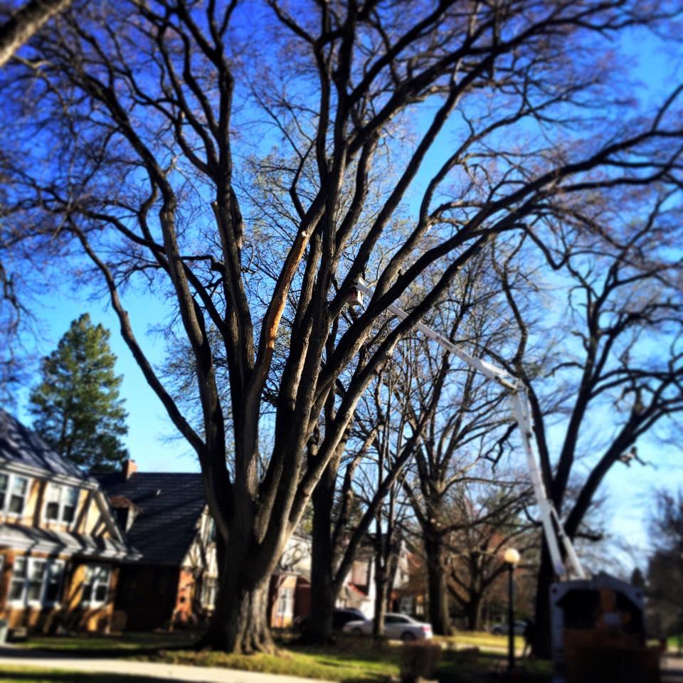 elm-tree-trim-american-arborist.jpg