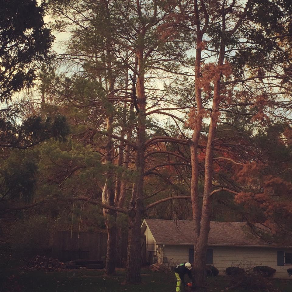 tree-removal-scotch-elms-before.jpg