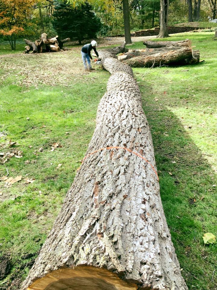 walnut-removal-american-arborist.jpg