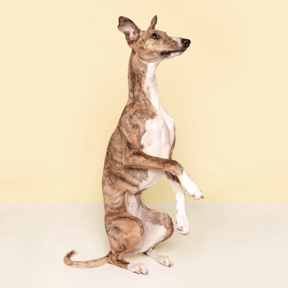lolly the whippet dog model london bangers and mash 3.jpg